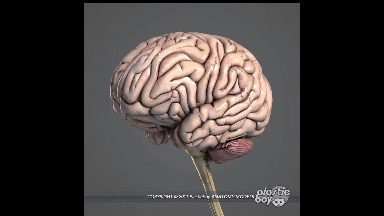 3d Human Brain Brain - Data SET •