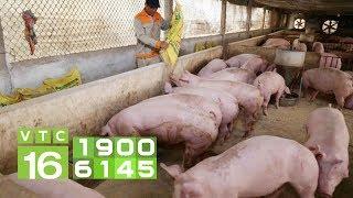 Giá lợn hơi Đồng Nai giảm mạnh | VTC16