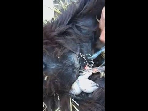How to castration goat ( castrare tap)