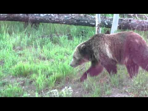 Grizzly Bear, Yellowstone National Park, משפחת בן יעקב פוגשת דב גריזלי