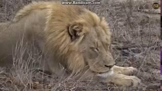 ~ Król afrykańskiej sawanny :  Lew  ~  Safari   18/10/2018
