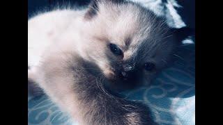 Самые забавные котята. Невская маскарадная