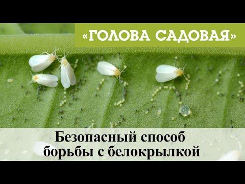Голова садовая - Безопасный способ борьбы с белокрылкой