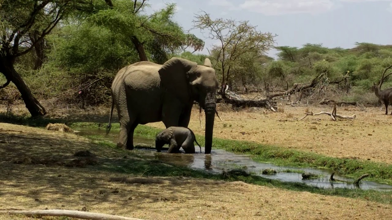 New baby elephant discovers water for the first time ...