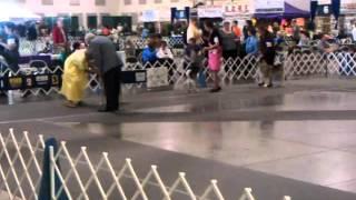 Atlanta Kennel Club - Norwegian Elkhound Breed Judging 04142