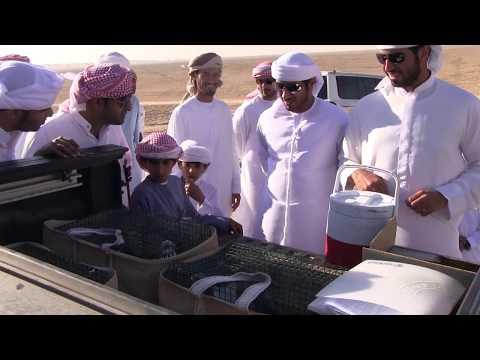 Falcon Vs Pigeon AlSarami 2013  - هدد حمام المطوع للصقور - الصرامي