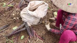 Thu nhập từ trồng khoai sọ đạt gần 300 triệu/ha