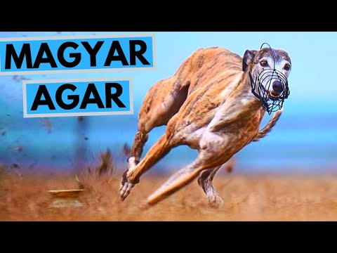 Magyar Agár Dog Breed - Facts and Information - Hungarian Greyhound