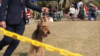2019.4.7 Terrier Specialty Show 深町審査員.