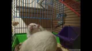 Two Dumbo Rats Mating | Спаривание крыс дамбо