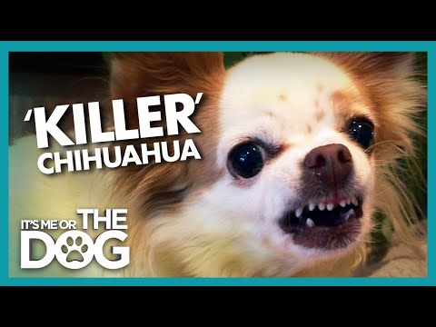 Killer Chihuahua Lives up to Her Name | Its Me or the Dog