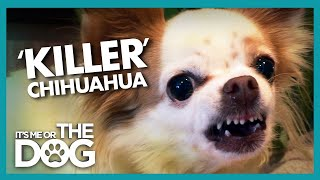'Killer' Chihuahua Lives up to Her Name | It's Me or the Dog