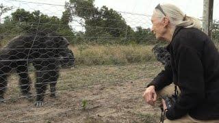 Jane Goodall visite un sanctuaire pour chimpanzés au Kenya