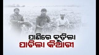 Crop damage Feared As Rain Lashes In Odisha