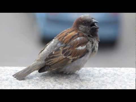 Видео как кричат воробей при опасности
