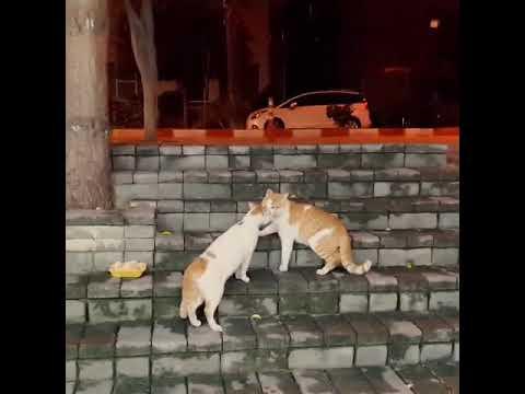 Kedi kavgası cat attack #cat #kangal #dogoargentino #germanshepherd #almankurdu #amstaff #pitbull