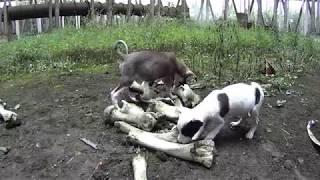 Chernobyl puppies