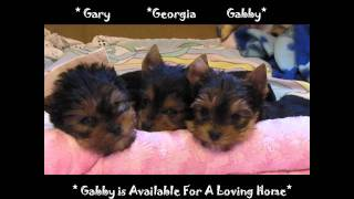 Oregon Champion Sired Yorkies Puppies Oregon Yorkies For Sale