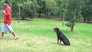 Rottweiler -obedience- Rockxie - K9 Enforcement Training