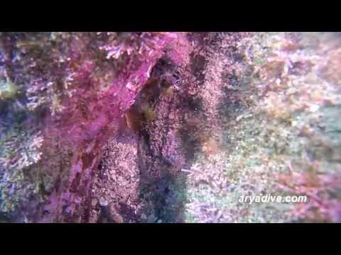 (청)앞동갈베도라치(Omobranchus elegans)~ Elegant Blenny