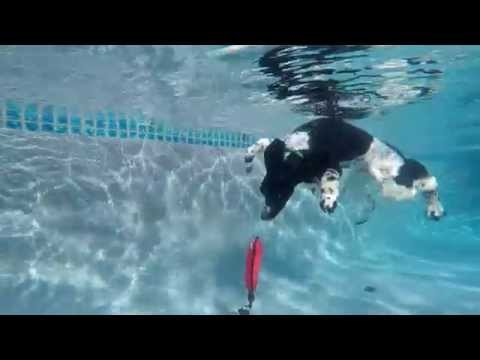 Standard Party Poodle Harry dives underwater for his dog toy in swimming pool