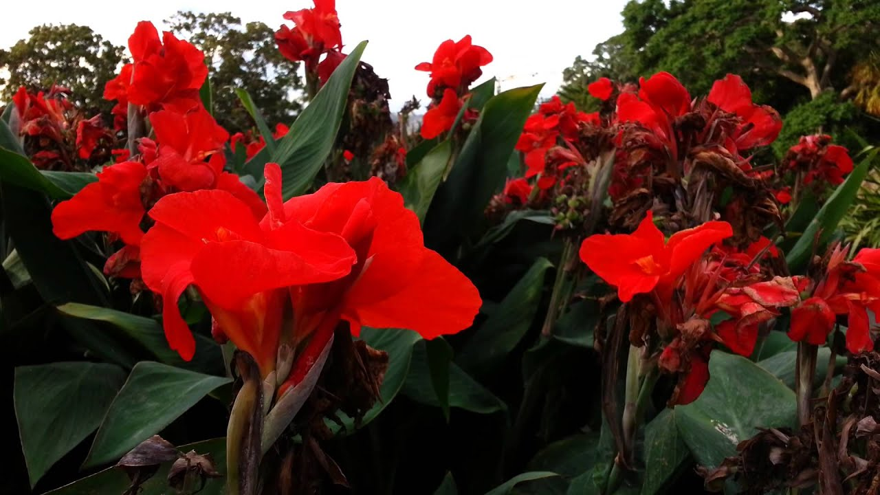 canna plant red flowers canna lily hd 04 youtube. Black Bedroom Furniture Sets. Home Design Ideas