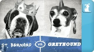 Pet vs. Pet Rap Battles: St. Bernard vs. Italian Greyhound