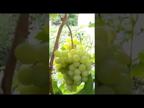 Поспел виноград сорт Августин 2018 г. Самара