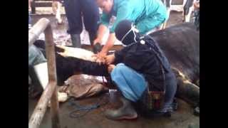 vuclip Proses Melahirkan Sapi di Peternakan Nurul Fikri, Cibodas, Lembang