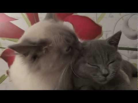Ragdoll Cat vs British Cat - AMAZING - Kittens British Shorthair