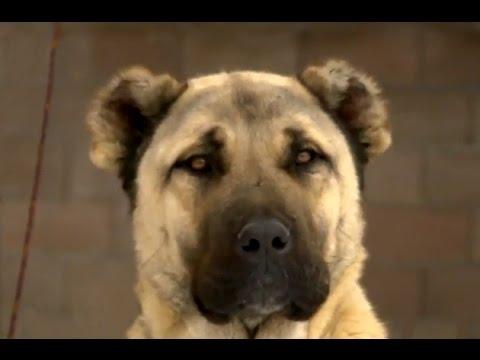 Kangal Köpeği - Sivas Kangal Köpeği Tanıtımı