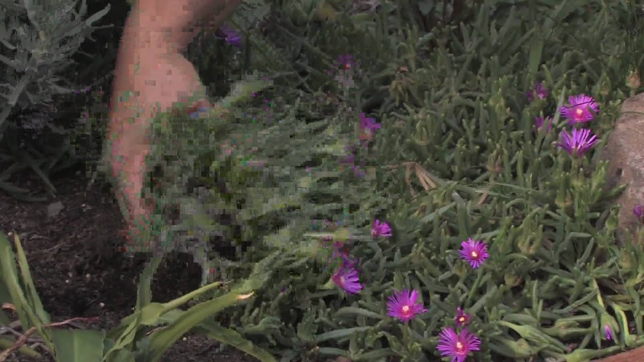 Plant care tips how to grow ice plant lampranthus for Plants to grow in garden