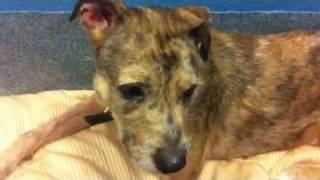 Rescued!!  Diamond, A357424, 1 Yr Old Female Border Terrier Mix