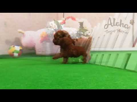 Coco,Teacup Tiny Poodle Puppies