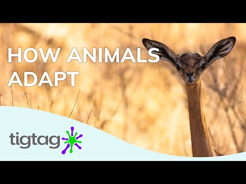 Primary Science Lesson Idea: Adaptation | Tigtag from YouTube · Duration:  2 minutes 51 seconds