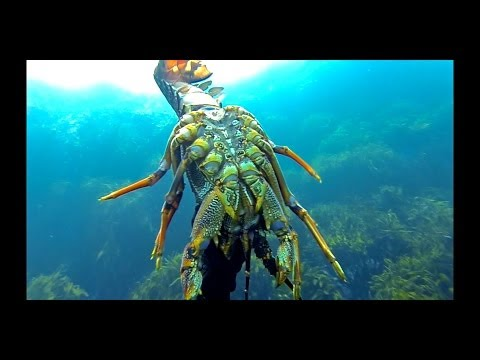 Wellington Spearos: Freediving for NZ Crays