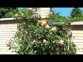 Роза Tantau  Barock (TANbak) в моём саду. Любимица!!!!
