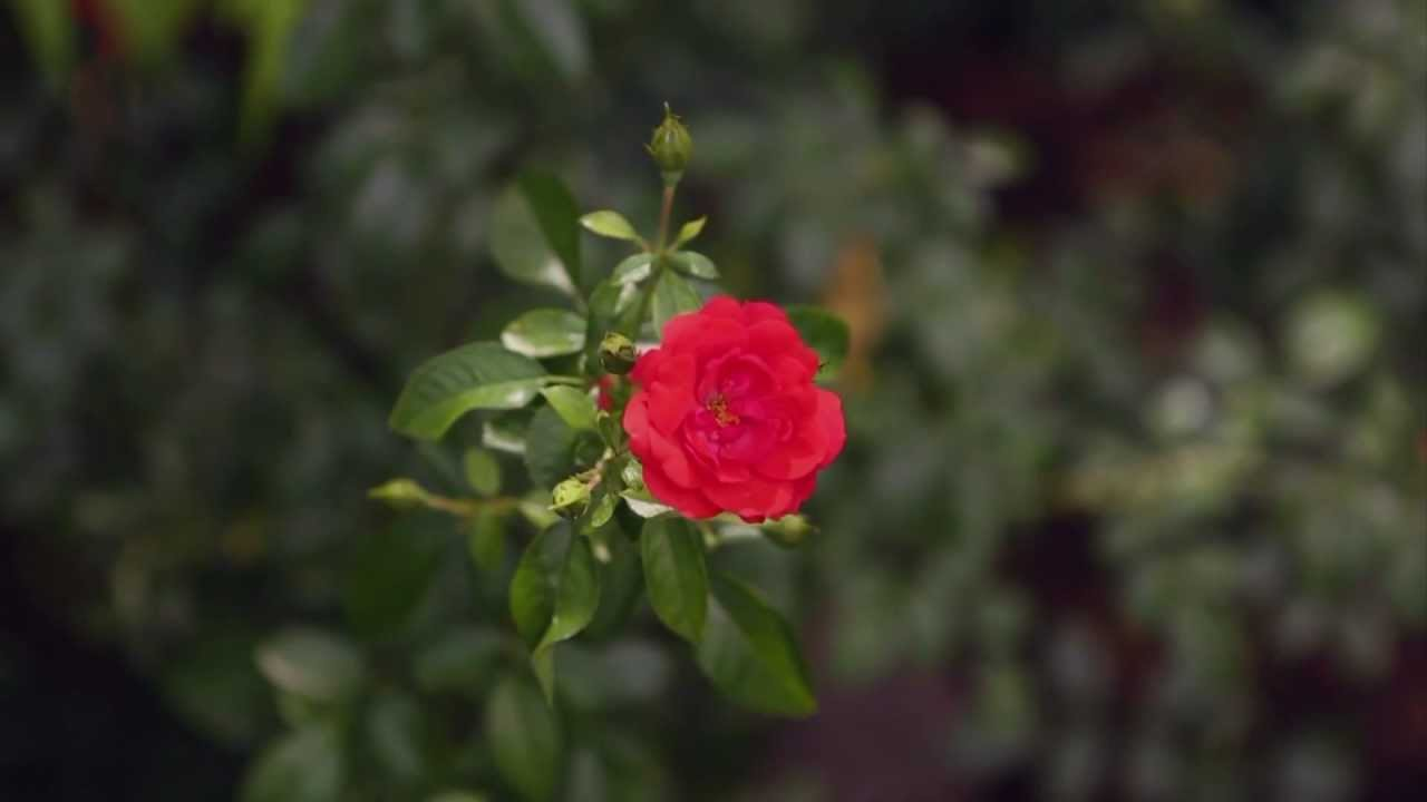 Roses In Garden: How To Grow Roses