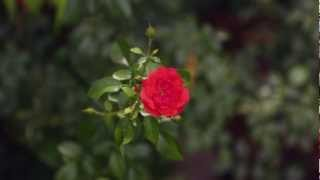 Home Garden - How to Grow Roses