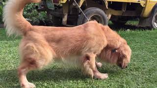 GOLDEN RETRIEVER STUD SESSION 2020 CASSIE X SHAWN