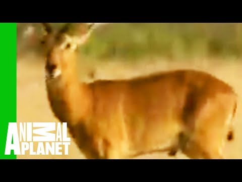Snake Regurgitates Antelope