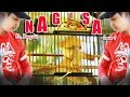 Tv Kicau Kapas Tembak Nagisa Milik Mr Bong Jit Tak Tersaingi Di Kelas B Event Danki Cup   Mp3 - Mp4 Download