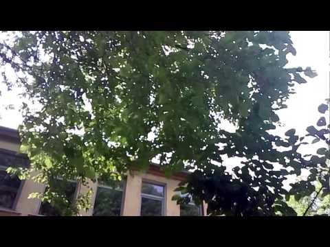 Шелковица — дерево, возвращающее молодость. Выращивание