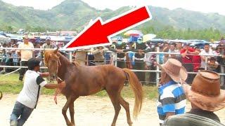 Kuda Ngambek Gak Mau diajak Bertanding (Pacuan Kuda Tradisional Gayo Takengon) Aceh, Indonesia