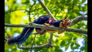 Colorful Malabar giant squirrels| CCTV English