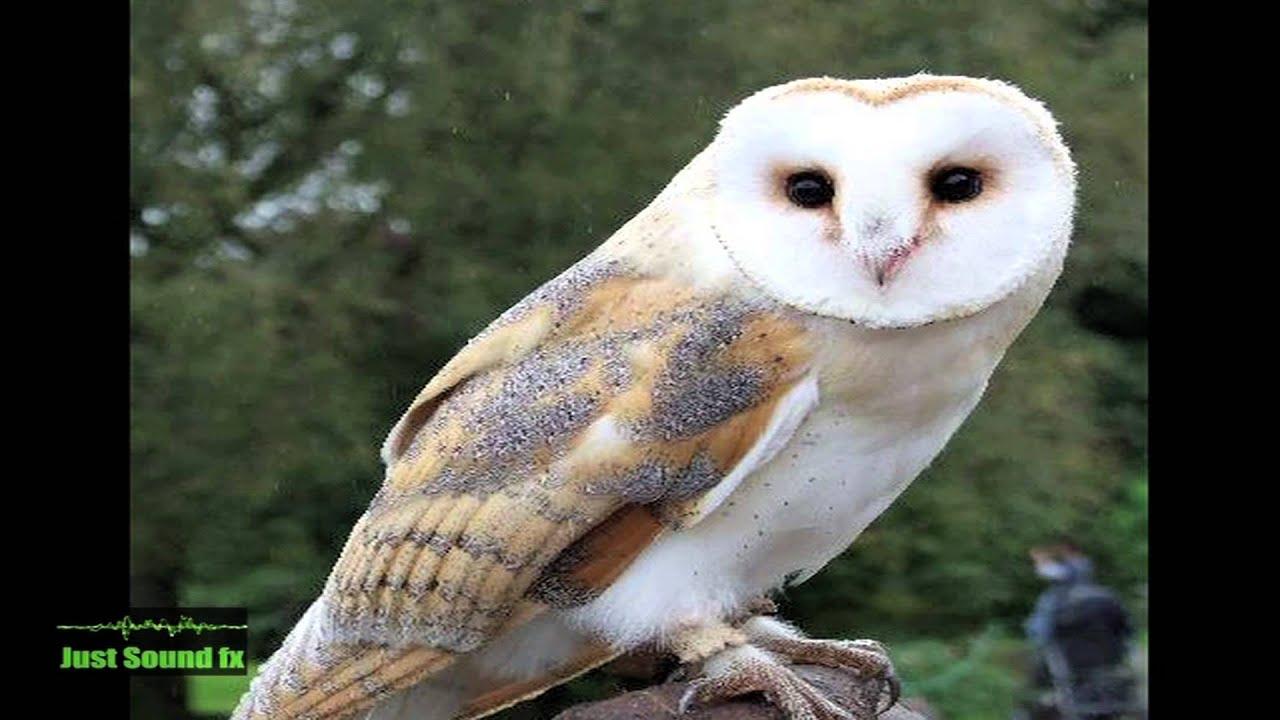 barn owl sound - YouTube