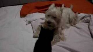 Westie Playing With A Cat