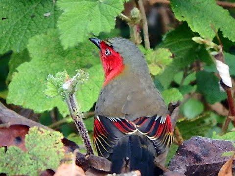 Rare birds of Thailand at Doi Lang Thailand
