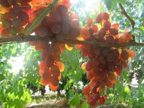 Обзор сверх(ультра)ранних сортов винограда на 23.07.2015 года