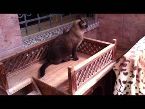 Siamese cat second chance rescue